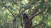 zvěř a rostlinstvo : Beautiful Dusky Leaf Monkey sitting, jumping on the tree. Wildlife in Thailand