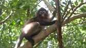 macaco : Beautiful Dusky Leaf Monkey sitting, jumping on the tree. Wildlife in Thailand