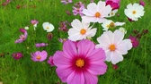 color image : Beautiful cosmos flowers swaying in the breeze