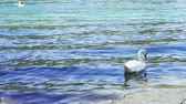 スワン : white swan bevy swiming in the lake 動画素材