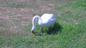gęś : White swan eating green grass on the sunny day in the park