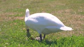 pták : Closeup of the white swan eating green grass on the sunny day in park of Figino, Lugano in Switzerland