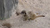 Cute young suricate looking around on sand ground and walks out of the frame Vídeos