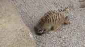 gözcü : Cute young suricate digging in sand ground and looking around