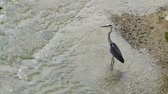 Heron (bird) standing and resting in flowing water of a shallow river. These birds are the long-legged freshwater and coastal birds and live almost everywhere in the world