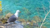 gaivota : A withe seagull watching the mediteranean sea shore Stock Footage