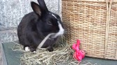 lebre : Cute black rabbit sniffs and sits on hay next to a Easter egg and a hamper