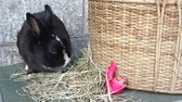 Cute black rabbit sniffs and sits on hay next to a Easter egg and a hamper