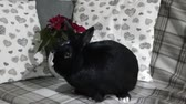 vonící : Cute black rabbit sits in front of a winter rose on a modern couch under turning light and smells a human hand Dostupné videozáznamy