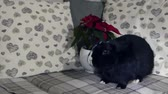 Cute black rabbit sits in front of a winter rose on a modern couch under turning light