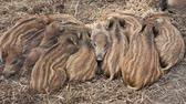 piglets : Many wild boar piglets (Sus scrofa) sleeping in a forest