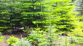 Panning over a christmas tree plantation in a forest in summer (Full HD)