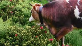 Cows in the mountain in pasture with beautiful landscape and flowers (Full HD) Stock Footage