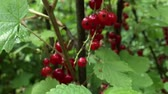 kyselý : Closeup tracking shot among redcurrant bushes with ripe red currant berries (4K)