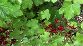 Tracking shot of redcurrant bush with red currant berries (4K)