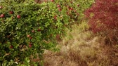 harvest : Pan shot of ripe apple on a field in late summer in Germany (HD)