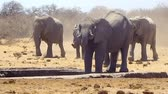 susuzluk : Herd of elephants running to water hole in Namibian desert (Full HD) Stok Video