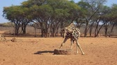 moving down : African Giraffe drinking from the well in Savanna (Full HD)
