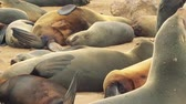 zegel : Many sea lions laying on a beach in Africa (Full HD)