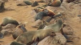 zegel : Colony of many sea lions relaxing on African beach (Full HD) Stockvideo