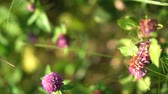 трилистник : Beautiful meadow in spring. Purple clover in summer in nature. stock video for art background