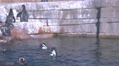 copenhague : Penguins swiming in the water stading on the stones