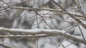 Snowing on a tree branch close-up. Three scenes.
