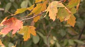 Close up video of fall leaves moving in the light breeze. Compilation of five scenes. Vídeos