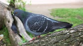 turtledove : pigeon standing on a tree branch looking out for food and top on the green grass Stock Footage