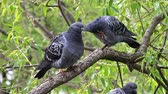 turtledove : two doves on a tree branch under green foliage wash and clean their feathers Stock Footage