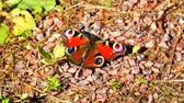 説明 : Butterfly with black spots on red wings sitting on stones