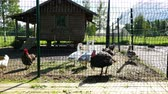 gansos : turkeys with geese walking around a fenced area
