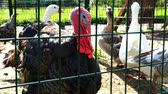 kohout : an important turkey with a red beard looks through the grate