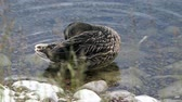 palmado : the duck stands on pebbles in the water and twists its tail.