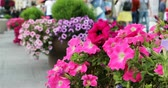 herbaceous : red petunias in large pots adorn the street and the sidewalk. Stock Footage