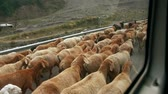 осел : A big herd of sheep walking on the roadside with a shepherd. View from a moving local bus window. Adventure travel toward Naran via Karakoram highway, Pakistan. Slow travel concept in countryside.