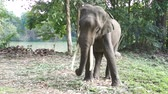 tele : Young male elephants in Thailand