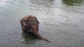 badehose : Elephant playing and swimming freely in the Kwai river located in Kanchanaburi, Thailand Videos