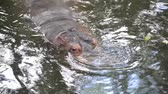rzeka : Hippopotamus in the river