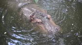 nílus : Hippopotamus in the river