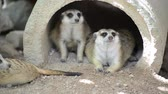 gözcü : The meerkats resting in the morning