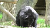 kimse : Big black bears resting and looking around. Stok Video