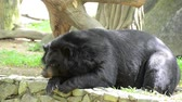 Big black bears resting and looking around. Stok Video