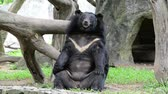 miś : Large black bear sitting took back leaning against a log.