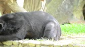 miś : Big black bears resting and looking around. Wideo