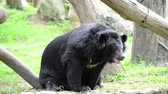 miś : The big black bear sits on a log. Wideo