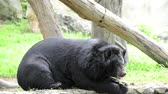 The big black bear sits on a log. Stok Video