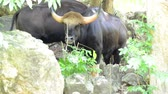 szarvak : Wild Gaur in nature Stock mozgókép
