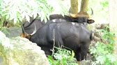 Wild Gaur in nature Stok Video