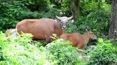 pastoreio : The Brown cow in the forest (Banteng)